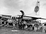 Cows in plane to USA.jpg